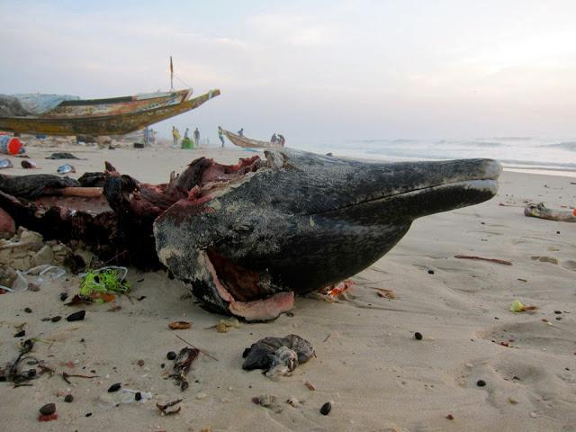 Ci-dessus et en bas: 2012 10 24, stenella frontalis à la renverse sur la plage de Ndar Toute / Courtesy photos par Alain-Paul Mallard pour Flickr et Ornithondar