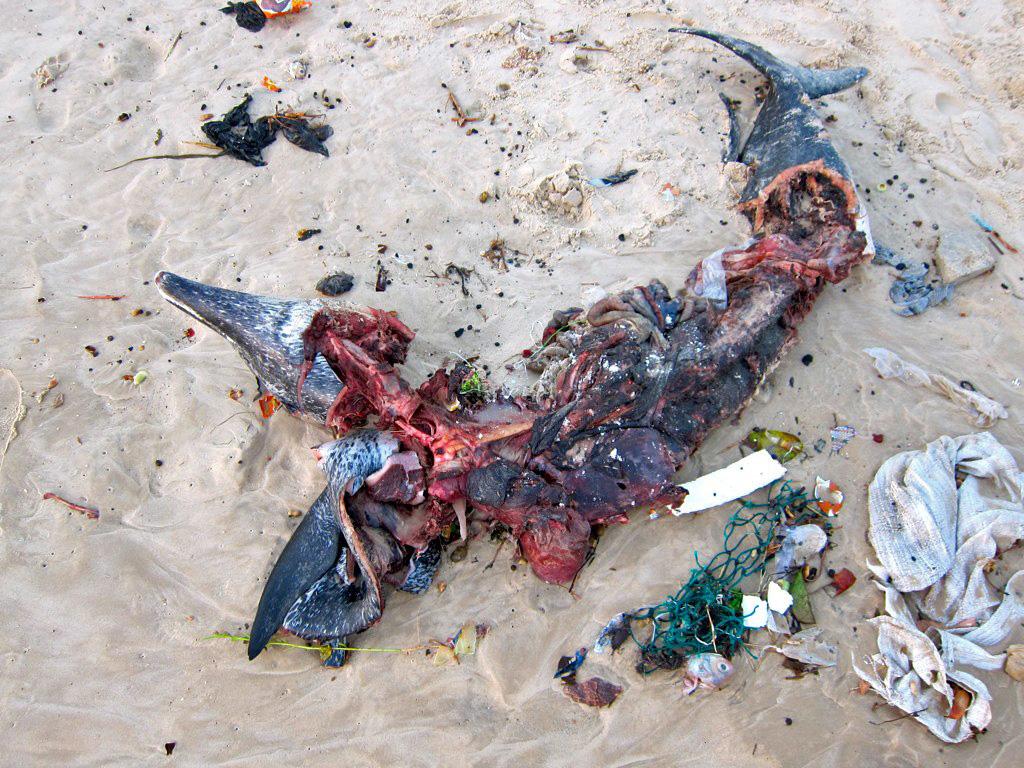 CRIME ENVIRONNEMENTAL A SAINT-LOUIS: le dauphin abandonné comme un détritus sur la plage.