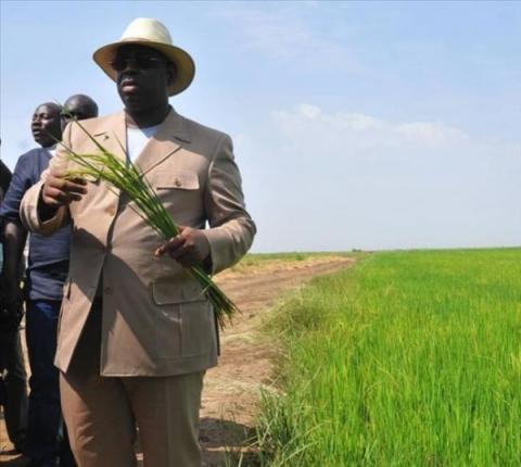 Sénégal: Macky Sall appelle à favoriser le riz local pour atteindre l'autosuffisance en 2017