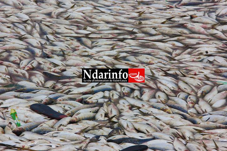 DESASTRE: des milliers de poissons morts jetés sur le fleuve à Saint-Louis (Photos)