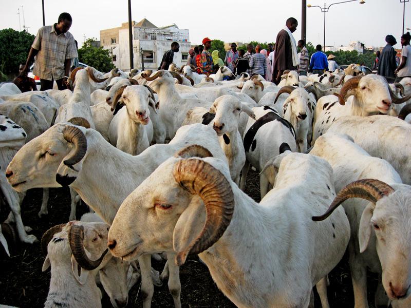 Tabaski 2015 : Plusieurs moutons meurent à la frontière de la Mauritanie avec le Mali