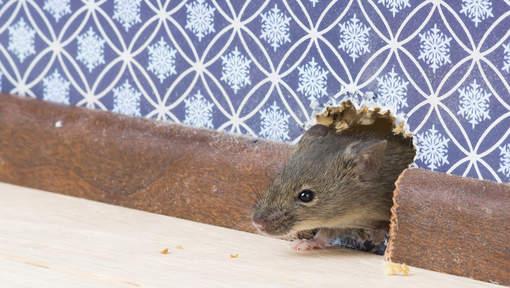 Une souris dressée pour livrer de la drogue en prison