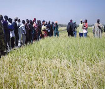 Riziculture à Fanaye : Les techniques de l'irrigation intermittente expliquées aux producteurs