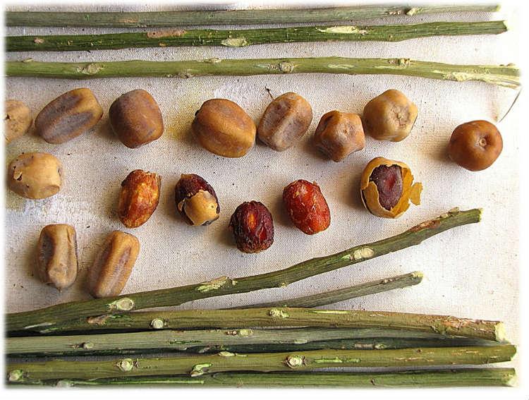 Le dattier du désert (Sump), un arbre à usage alimentaire et médicinal