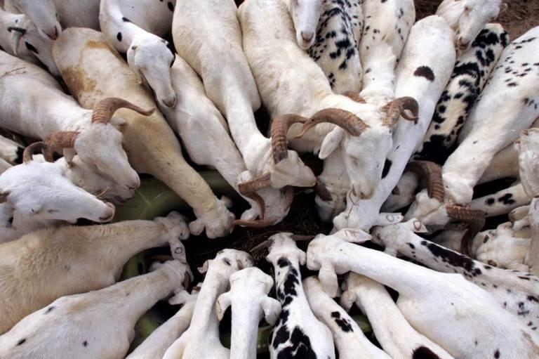 Sénégal : 750 000 moutons pour la Tabaski