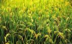 Filière rizicole : de nouveaux mécanismes de financement annoncés