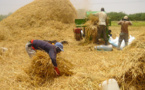 Une production de 750 800 tonnes de riz attendue de la vallée en 2017 (SAED)