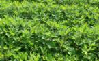 """Saint-Louis : les semis en stade de """"flétrissement"""" à cause d'une pause pluviométrique (DRDR)"""