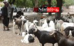 Saint-Louis : plus de 18.000 entrées de moutons de la Mauritanie et 22.000 autres issus de la production locale (ministre)