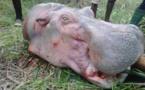 Chasse illicite aux hippopotames avec arme à feu : deux braconniers béninois déférés en prison