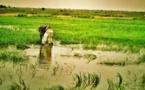 Malaise dans le WALO : À FOURARATE, des milliers d'hectares de riz séquestrés par les eaux …