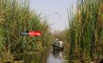 Vers la transformation du Typha en combustible au Sénégal