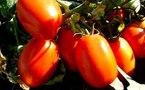 Socas-Agrolines : la tomate source de division