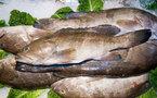 Le poisson abaisserait le mauvais cholestérol et accroîtrait le sperme et la vue