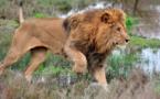 Trafic de grands félins : Nouveau coup de filet des Parcs nationaux !