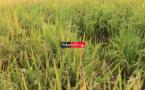 Le Pariis va contribuer à atteindre l'autosuffisance en riz (autorité)