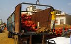 Filière tomate : Les industriels vont enlever 50 mille tonnes à la prochaine campagne