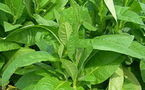 Santé : Les plantes au secours du tabagisme !