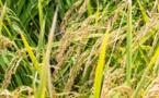 Mise au point par AfricaRice d'une technologie améliorée d'étuvage du riz