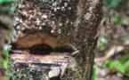 Comment les forêts sénégalaises sont pillées par les chinois (vidéo)