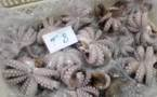Pêche artisanale: L'Etat décrète un repos biologique pour le poulpe jusqu'en fin novembre