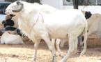 Tabaski ou Aîd El Kabir : Les critères d'éligibilité des moutons