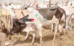 Tabaski 2020 : L'ONG turque « Hasene » distribue 400 bœufs à travers le pays (vidéo)