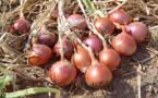 Saint-Louis : bientôt une usine de déshydratation d'oignons pour soutenir l'agriculture
