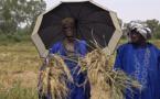 RIZICULTURE : les producteurs de Aéré Lao magnifient l'appui de la SAED (vidéo)