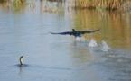 Mauritanie : alerte à la grippe aviaire dans le parc du Diawling