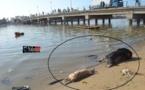 Arrêt sur Images: Des cadavres sous le pont de Guet Ndar.