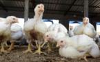 Grippe aviaire : la surveillance maintenue, malgré la maîtrise du foyer de Pout