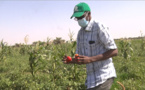 PODOR : Aboubacry SOW sur le terrain de la récolte de la tomate et de l'oignon (vidéo)