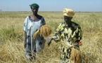 Production rizicole   Les producteurs de la Vallée formés aux techniques de récolte et post-récolte