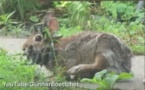 VIDEO Un lapin avec des cornes sur la tête à cause d'une maladie