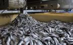 Un universitaire alerte sur la menace des usines de farine de poisson