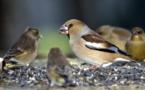 Forte pression aviaire à Diama: Les oiseaux granivores menacent les récoltes de riz