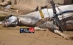 Saint-Louis : Un cheval électrocuté à mort, son cocher échappe de justesse.