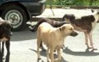 Saint-Louis : Des chiens errants sèment la terreur dans les cimetières de Thième et Thiaka Ndiaye.