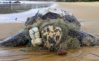 Grande Côte: 47 carcasses de tortues marines sur le sable !