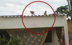 PIKINE - SAINT-LOUIS : des singes enragés mettent la vie des populations en danger.