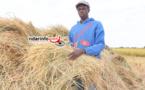 RIZICULTURE DANS LA CUVETTE DE NGALENKA : les performances des récoltes sont liées à la qualité des aménagements (paysan).