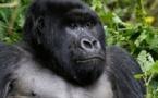 Le virus du sida a été transmis à l'homme par les grands singes