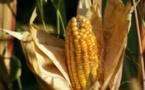 DAGANA: Mbane accueille un projet maïs doté d'un financement d'un milliard