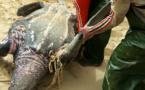 GOXUMBATHIE : le massacre des tortues marines se poursuit (vidéo)