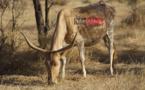 Appui au pastoralisme au sahel (Praps) : Un projet de plus de 16 milliards de FCfa pour le Sénégal