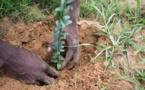 Grande muraille verte : 40 000 hectares reboisés par le Sénégal