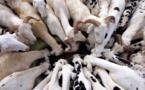 Saint-Louis : optimisme pour la couverture des besoins en moutons de Tabaski (officiel)