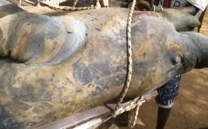 RICHARD-TOLL: Un énorme lamantin mort échoue sous le pont de la rivième Taouey (Photos)