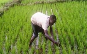 Autosuffisance en riz : les producteurs de Saint-Louis veulent un maintien de la cadence